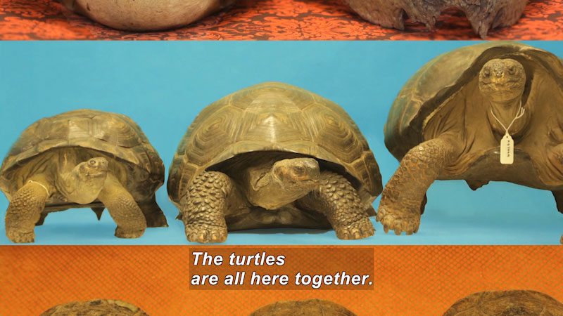 Three turtles, one with a tag around its neck. Caption: The turtles are all here together.