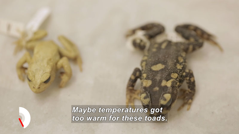 Two toads, one light brown, the other darker brown with light spots. Caption: Maybe temperatures got too warm for these toads.