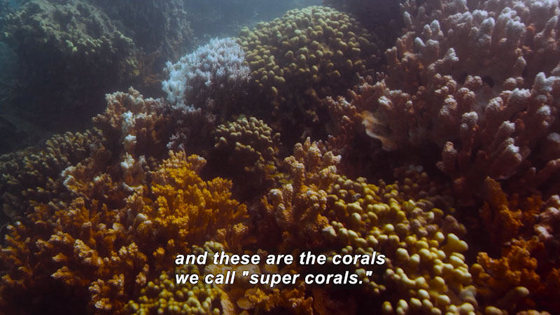"""Coral of various shapes and a range of colors. Caption: and these are the corals we call """"super corals."""""""
