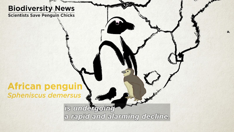 An illustration of African penguins with the outline of Africa in the background. Caption: is undergoing a rapid and alarming decline. On screen text: Biodiversity news, Scientists save penguin chicks. African Penguin, Spheniscus demersus.
