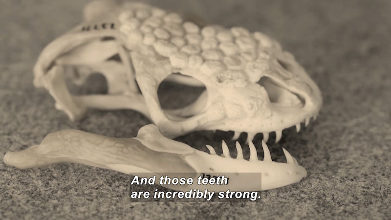 The skull of an animal with long, sharp teeth. Caption: And those teeth are incredibly strong.