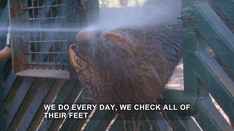 Foot of an elephant being sprayed off with water while coming through an opening in a metal fence. Caption: we do every day, we check all of their feet.