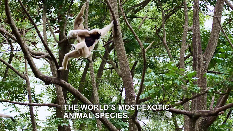Two monkeys are clinging to the branches in the tree tops. Caption: The world's most exotic animal species.