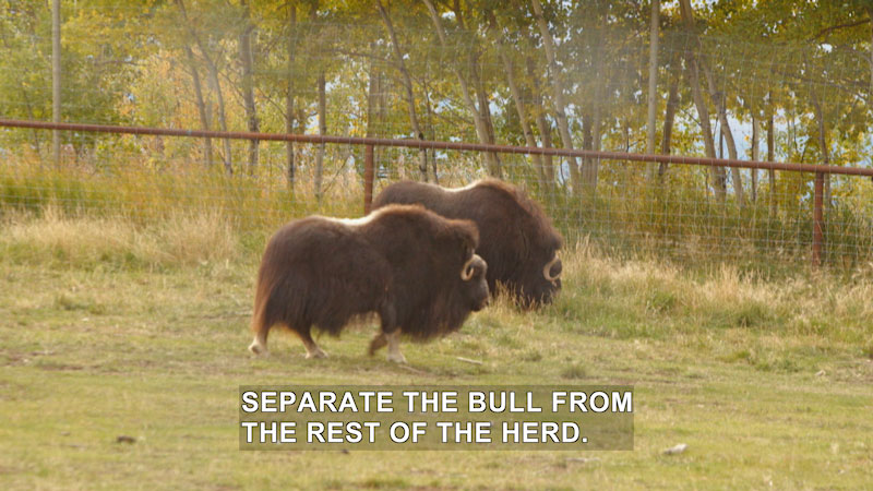 Still image from Wilderness Vet: The Great Musk-Ox Roundup