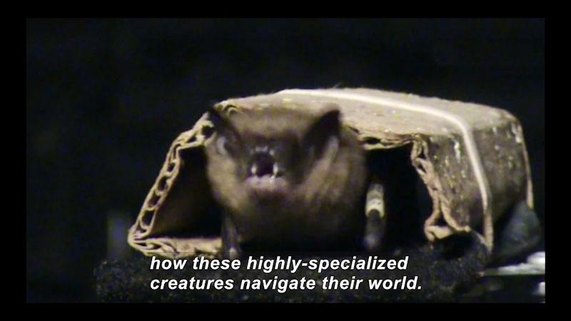 Bat held down by cardboard restraint, pinning wings to body. Caption: how these highly-specialized creatures navigate their world.