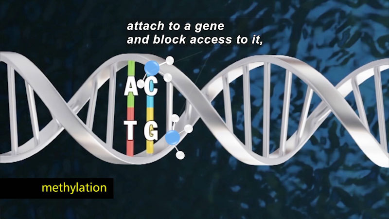 """Double helix of DNA with two protein strands highlighted. One strand shows proteins A and T. The other strand shows C and G. Caption """"methylation"""". Caption: attach to a gene and block access to it,"""