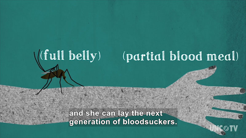 An animation of a mosquito biting a hand. On screen text, full belly, partial blood me. Caption: and she can lay the next generation of blood suckers.