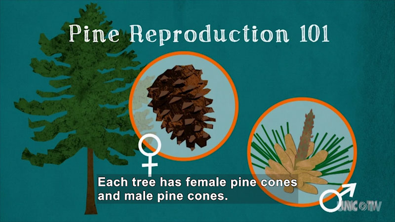 Pine Reproduction 101. Pine tree, a male pinecone, and a female pinecone. Female pinecones have a long protrusion from the center and pine needles around the edges. Caption: Each tree has female pine cones and male pine cones.