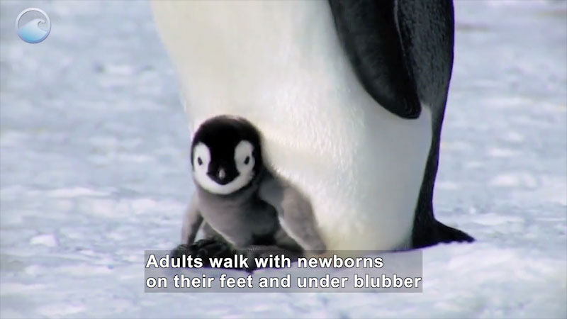 Penguin chick perched on the feet of an adult penguin. Caption: Adults walk with newborns on their feet and under blubber