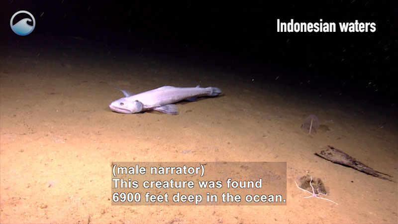 Large, light colored bathysaurus swimming along the bottom of the ocean. Caption Indonesian waters. Caption: (male narrator) This creature was found 6900 feet deep in the ocean.