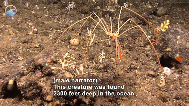 A sea spider with long, extremely thin legs crawling on the ocean floor. Caption: (male narrator) This creature was found 2300 feet deep in the ocean.