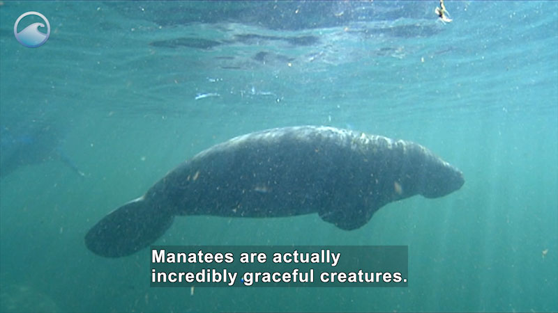 Manatee swimming in the water. Person in scuba gear in the background. Caption: Manatees are actually incredibly graceful creatures.