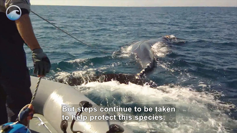 Person on boat holding a rope attached to a whale in the water. Caption: But steps continue to be taken to help protect this species.
