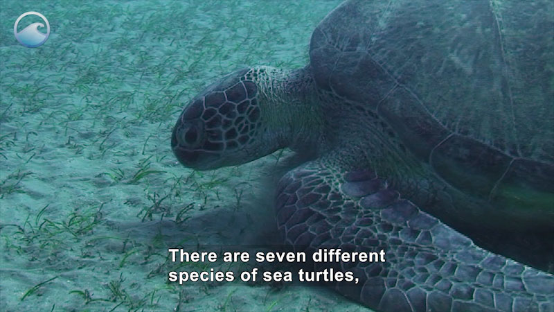 Close up of a sea turtle swimming on the ocean floor. Caption: There are seven different species of sea turtles,