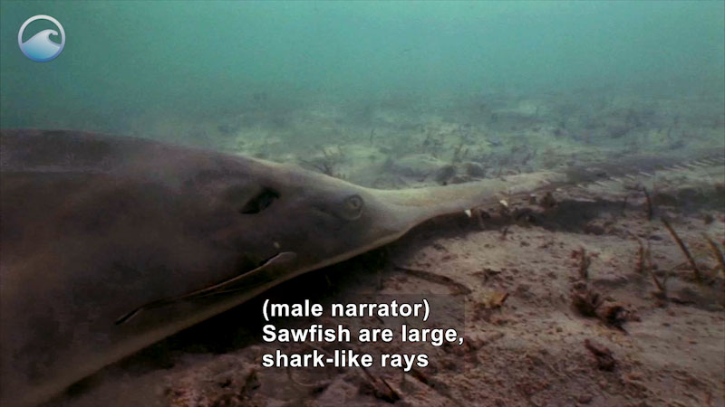 Close up of a sawfish on the ocean floor. It has a large flat body with a long tooth-lined shaft from the mouth. Caption: (male narrator) Sawfish are large, shark-like rays