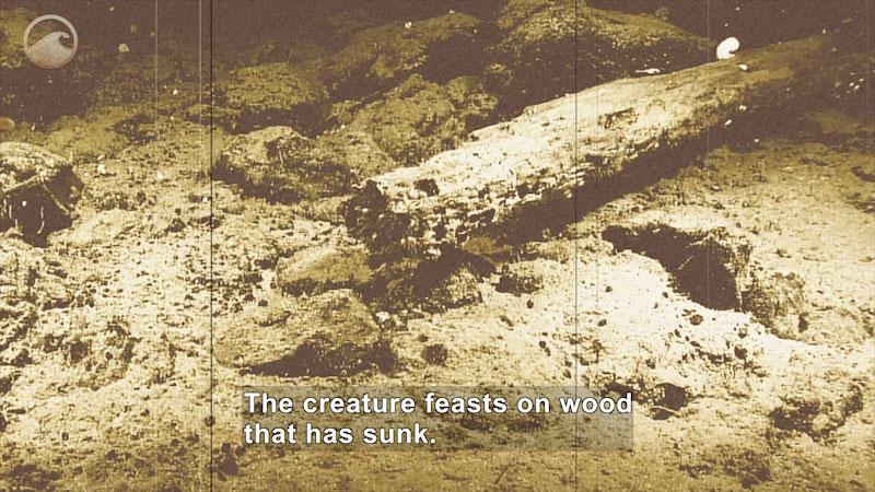 A decaying log on the ocean floor. Caption: The creature feasts on wood that has sunk.