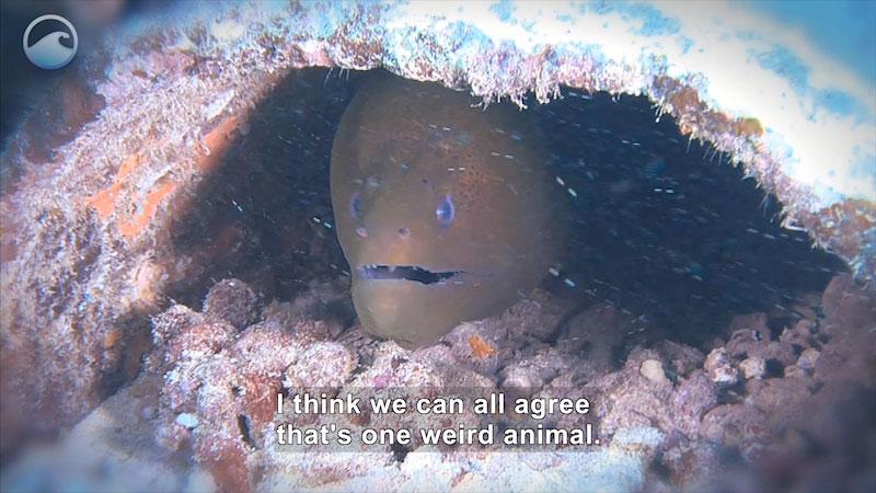 Still image from Weird Animals: Giant Moray Eel