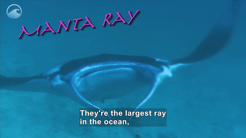 Roughly diamond shaped animal with fins in the front swims underwater. Manta Ray. Caption: They're the largest ray in the ocean,