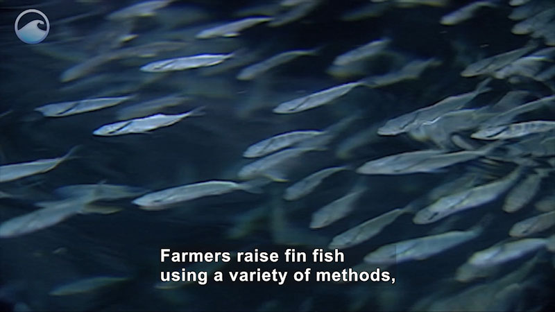 A school of small thin fish swimming in the water. Caption: Farmers raise fin fish using a variety of methods,