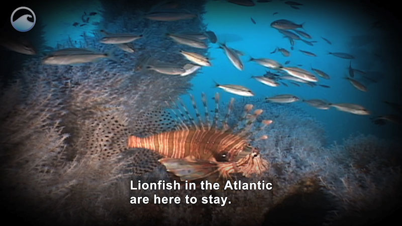 Lionfish swimming in the ocean surrounded by smaller fish and plants. Caption: Lionfish in the Atlantic are here to stay.