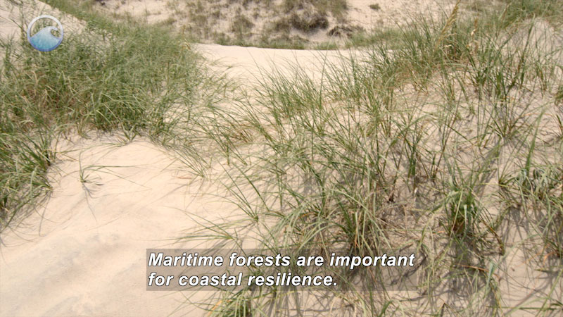 Sand dunes with sparse grass. Caption: Maritime forests are important for coastal resilience.