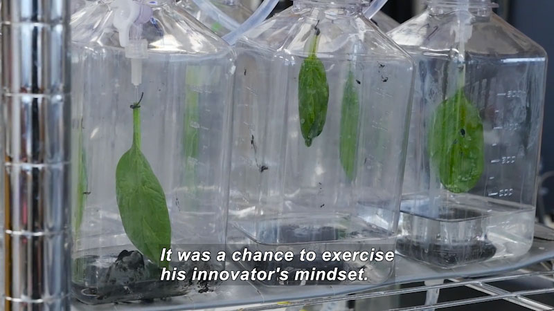 Spinach leaves suspended from the mouths of plastic bottles over clear liquid. Caption: It was a chance to exercise his innovator's mindset.