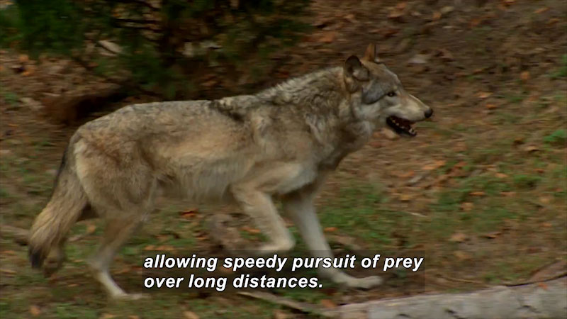 Wolf in natural habitat. Caption: allowing steady pursuit of prey over long distances.