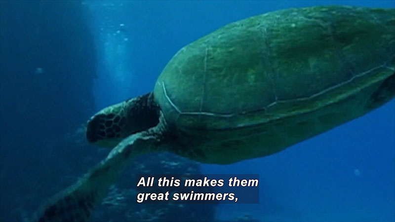 Large sea turtle swimming down towards the ocean floor. Caption: All this makes them great swimmers,
