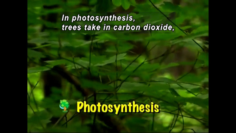 Leaves and branches on a tree. Photosynthesis. Caption: In photosynthesis, trees take in carbon dioxide,