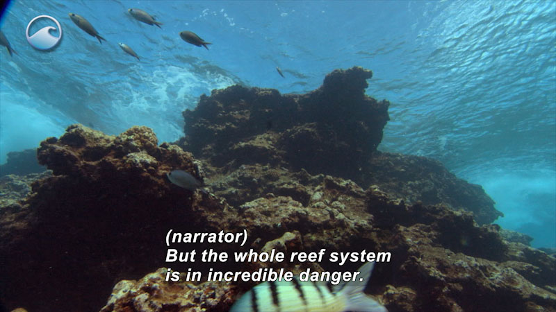 Towering coral reef with swimming fish as seen from below against the ocean surface. Caption: (narrator) But the whole reef system is in incredible danger.