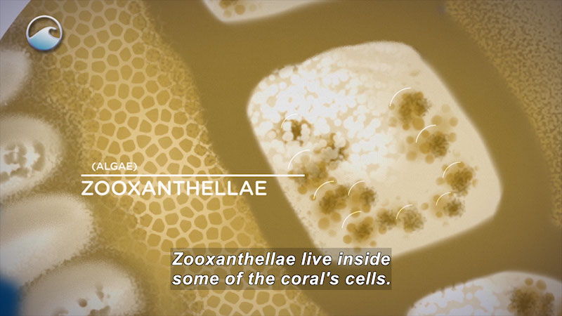 Extreme closeup of the cell structure of coral showing rectangular shape in the center of textured cell material. Labeled, (algae) ZooXanthellae. Caption: Zooxanthallae live inside some of the coral's cells.