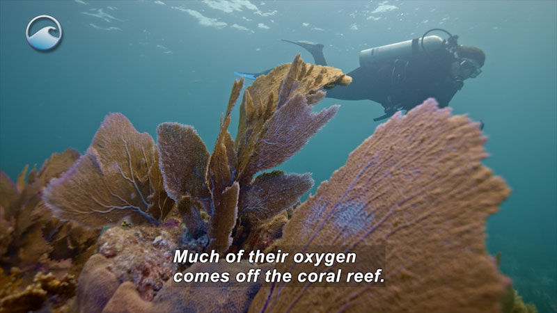 Flat, fan shaped, leaf-like structures grow off coral while a person in scuba gear swims by. Caption: Much of their oxygen comes off the coral reef.