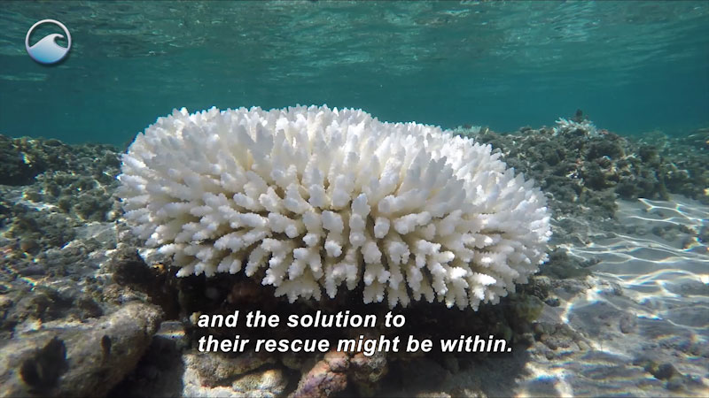 Generally spherical white coral consisting of countless individual arm segments on the ocean floor. Caption: and the solution of their rescue might be within.