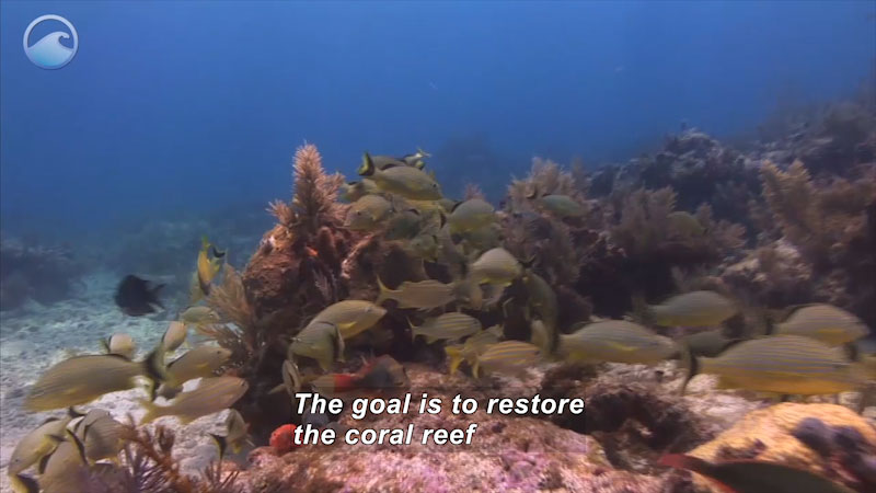 Coral reef with a variety of marine plant and animal life. Caption: The goal is to restore the coral reef