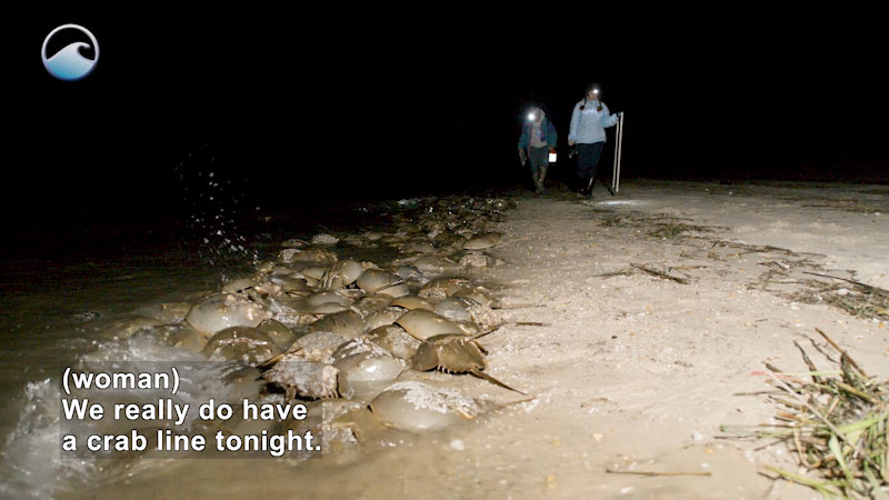 Two people walking past a large group of horseshoe crabs. Caption: (woman) We really do have a crab line tonight.
