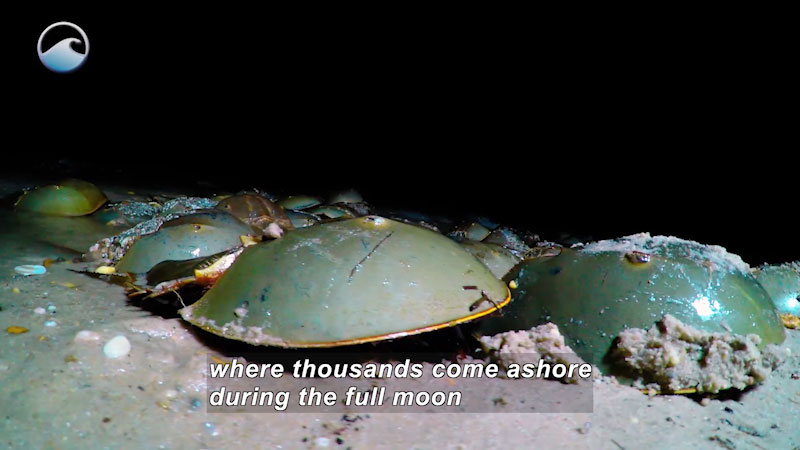 Line of horseshoe crabs on the sea floor. Caption: where thousands come ashore during the full moon