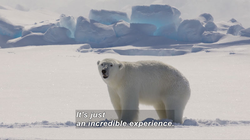 A polar bear is in its natural habitat. Caption: It's just an incredible experience.