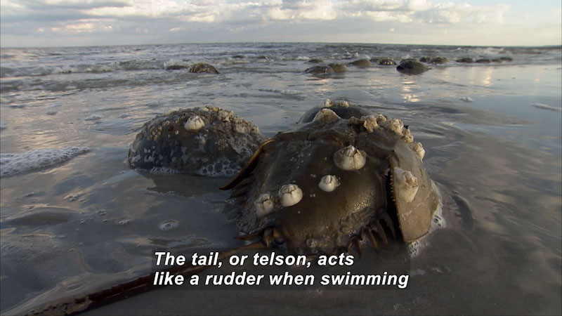 A cast of horseshoe crab in the swampy waters. Caption: The tail, or telson, acts like a rudder when swimming