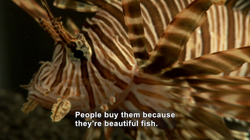 lionfish. Caption: People buy them because they're beautiful fish.