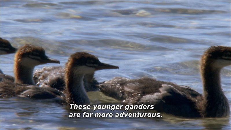 The flock of ganders is swimming in the water. Caption: These ganders are far more adventurous.