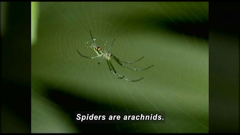 Spider with long narrow legs and a small narrow body at the center of a delicate spider web. Caption: Spiders are arachnids.