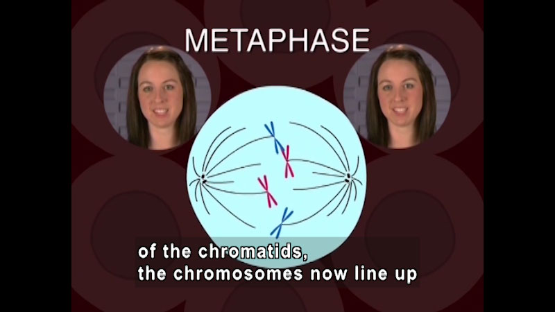 Metaphase. Diagram of two structures on opposite sides of a cell. Each structure has one blue chromosome and one red chromosome. Caption: of the chromatids, the chromosomes now line up