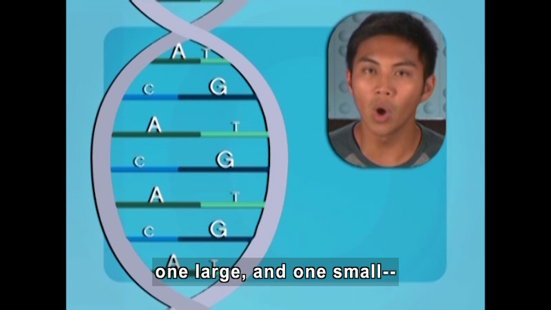 Double helix strand of DNA with protein pairs on each step. For example, AT and CG. For each pair, one letter is smaller than the other. Caption: one large, and one small--
