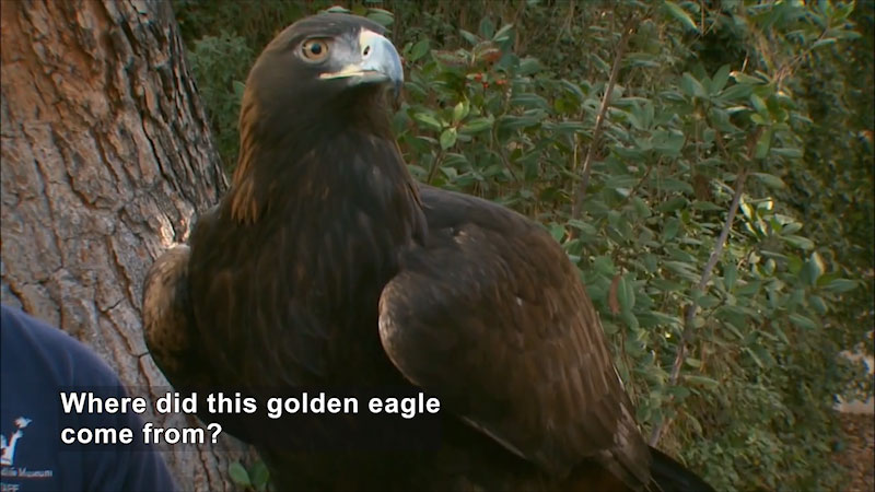 Close up of a golden eagle, wings folded. Caption: Where did this golden eagle come from?