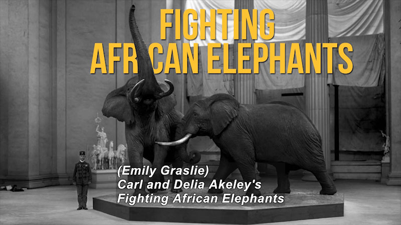 Person standing next to a platform with two taxidermized elephants. Caption: (Emily Graslie) Carl and Delia Akeley's Fighting African Elephants