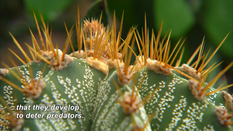 Closeup of the spines on a plant. Caption: that they develop to deter predators.