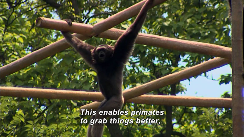 Monkey hanging from a latticework of bamboo poles. Caption: This enables primates to grab things better,