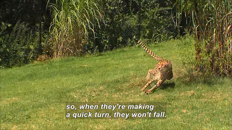 Cheetah making a sharp turn while running. Caption: so, when they're making a quick turn, they won't fall.