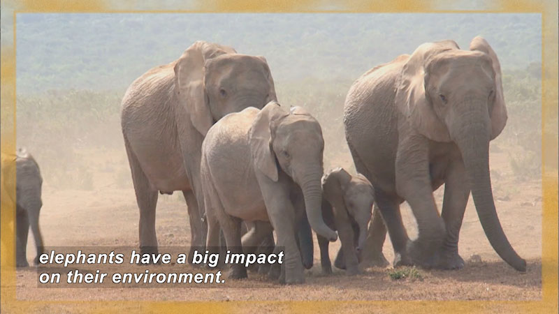 Elephants of various sizes in natural habitat. Caption: elephants have a big impact on their environment.