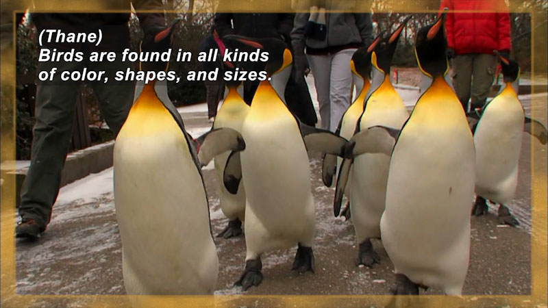 A group of penguins with white chests, yellow-orange throats, and black heads and backs. Caption: (Thane) Birds are found in all kinds of color, shapes, and sizes.